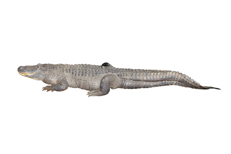 Crocodile isolated on white background, clipping path