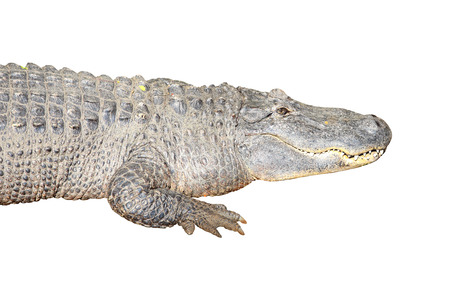 white nile: Crocodile on white background with clipping path