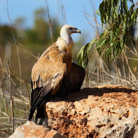 fulvus: Adult Griffon vulture (Gyps fulvus)