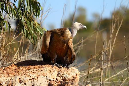Adult Griffon vulture (Gyps fulvus)
