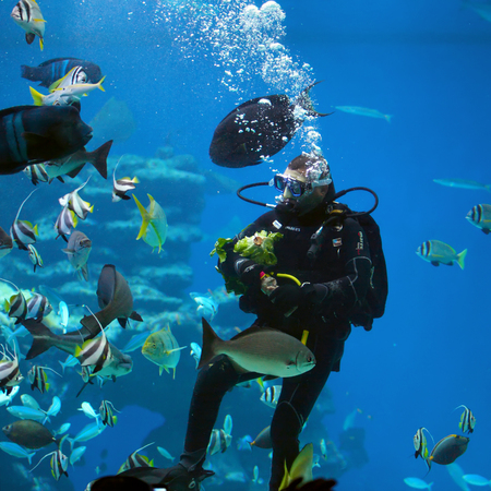 EILAT, ISRAEL - APRIL 09 2017: diver is feeding fishes  in the Shark Pool of Coral World Underwater Observatory aquarium in Eilat, Israel.