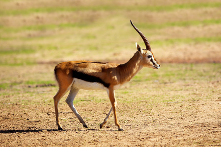 The Young Thomson's gazelle (Eudorcas thomsonii) is one of the best-known gazelles