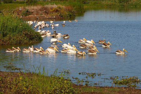 Gigantic flock of Great White Pelicans in water Stock Photo