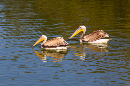 Two pelicans on the water surface Stock Photo