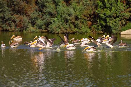 flock of Great White Pelicans in water