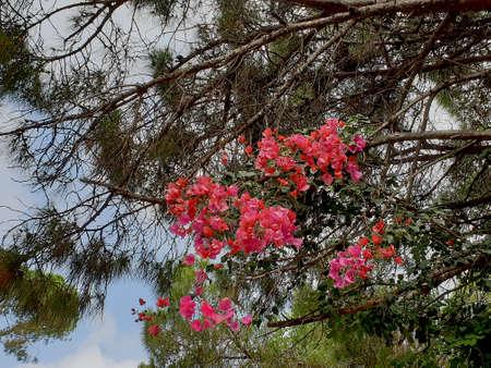 Bougainvillea branches intertwined with pine branches . Archivio Fotografico
