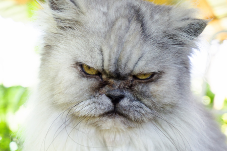 Angry cat with unhappy expression, portrait close up
