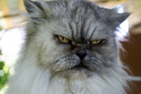 Angry gray cat with unhappy expression, portrait close up Stock Photo