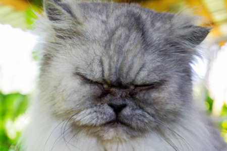 Disappointed cat, portrait of grey cat with closed eyes