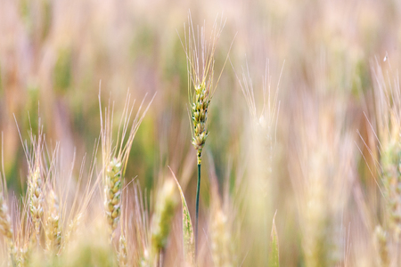 Yellow ears of barley closeup on blurred background Stock Photo