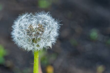 Dandelion flower with seeds ball close up, horizontal view Reklamní fotografie