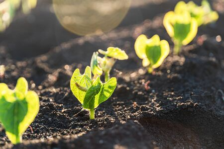 Agriculture plants seedling growing in garden and sunlight. New life or start or beginning concept Reklamní fotografie