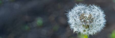 Dandelion flower with seeds ball close up. Wide banner