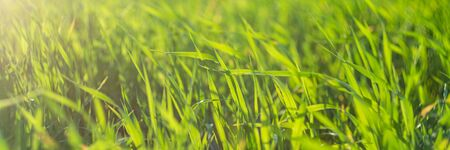 Green meadow or lawn in summer sunset rays. Natural background. Wide banner