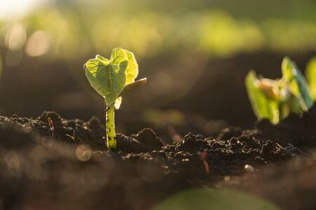 Agriculture plant seedling growing step concept in garden and sunlight. New life or start or beginning concept Reklamní fotografie