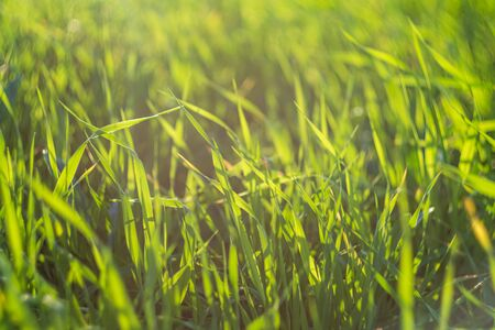 Green meadow or lawn in summer sunset rays. Natural background Reklamní fotografie
