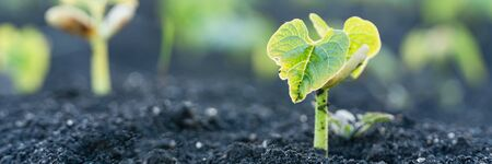 Agriculture plant seedling growing step concept in garden and sunlight. New life or start or beginning concept. Wide banner background