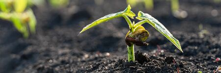 Green sprout growing from ground, new life or start or beginning concept. Wide banner background