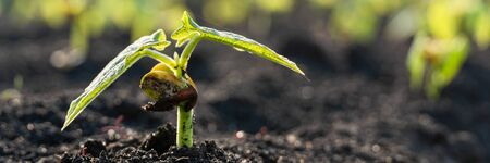 Agriculture plants seedling growing in garden and sunlight. New life or start or beginning concept. Wide banner