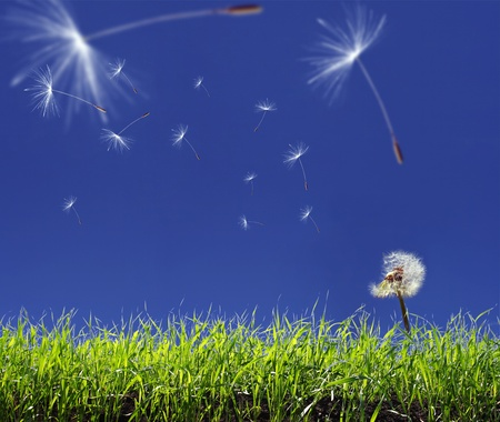 Dandelion seeds flying in the blue sky Stock Photo - 9052192