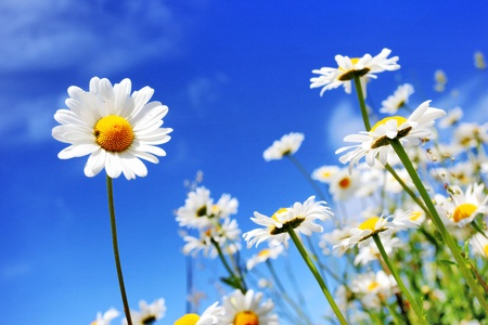 Summer field with white daisies on blue sky