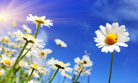 blue daisy: Summer field with white daisies on blue sky