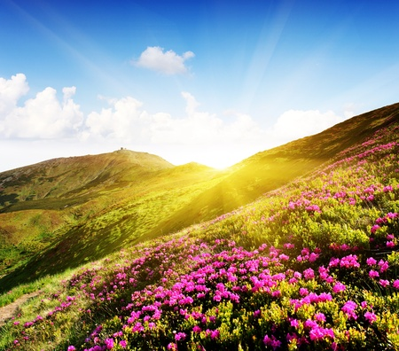 non urban: Magic pink rhododendron flowers on summer mountain