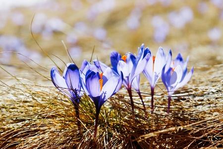 krokus: Springtime is het moment voor deze mooie bloem Stockfoto