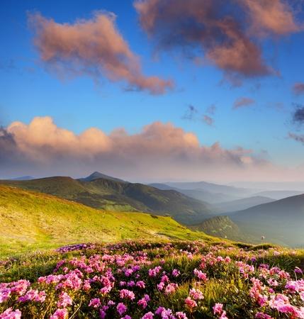 Magiczne różowe kwiaty rododendronów na lato górskich Karpat, Ukraina Zdjęcie Seryjne - 13093115