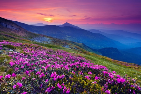 rhododendron: Magic pink rhododendron flowers on summer mountain