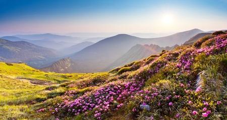 Magic roze rhododendron bloemen op de zomer de bergen Stockfoto
