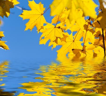 Beautiful yellow autumn maple leaves  Autumn concept  photo