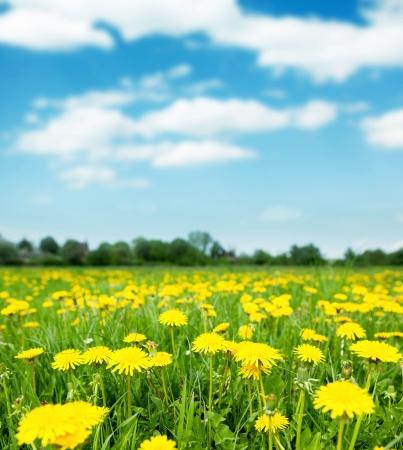 Lente veld met paardebloemen op heldere zonnige dag.