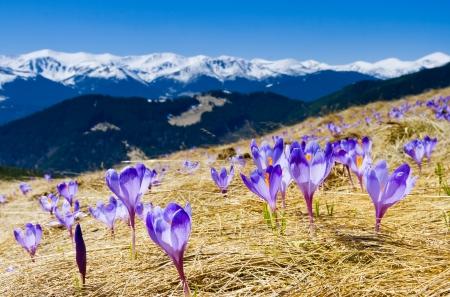 La primavera ? il momento per questo bellissimo fiore Archivio Fotografico