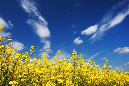 cornfield: Yellow field rapeseed in bloom with blue sky and white clouds Stock Photo