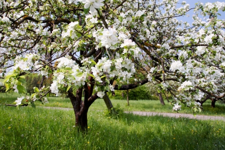 apple orchard: A blooming branch of apple tree in spring