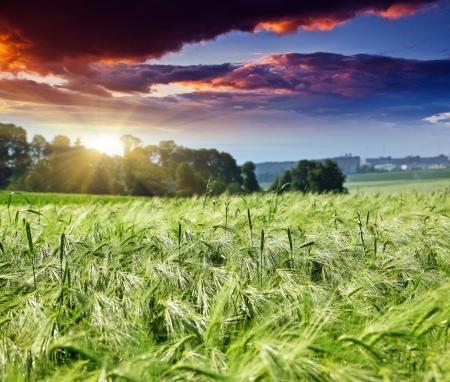 cornfield: Majestic landscape in the field under daybreak