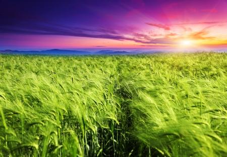 cosecha de trigo: Paisaje majestuoso en el campo bajo el amanecer Foto de archivo