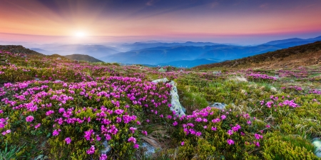 rhododendron: Magic pink rhododendron flowers on summer mountain.Carpathian, Ukraine, Europe. Beauty world.