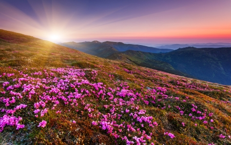 countryside landscape: Magic pink rhododendron flowers on summer mountain.Carpathian, Ukraine.