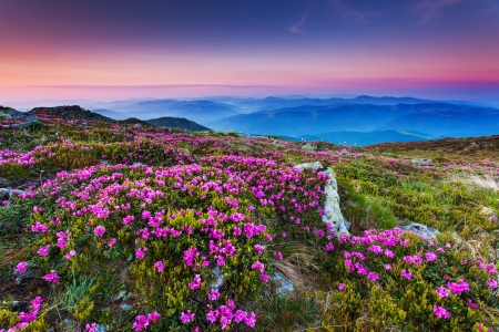 Magic pink rhododendron flowers on summer mountain.Carpathian, Ukraine.