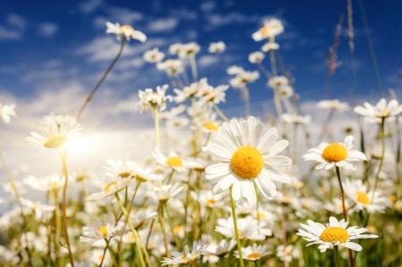 Summer field with white daisies on blue sky. Ukraine, Europe. Beauty world. photo