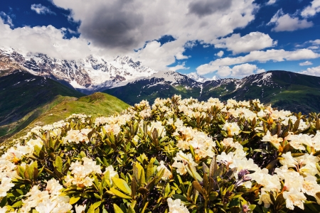shkhara: Alpine meadows at the foot of  Mt. Shkhara, Chkhutnieri pass. Upper Svaneti, Georgia, Europe. Caucasus mountains. Beauty world.