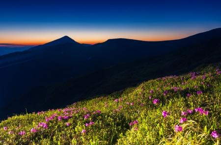 Magic pink rhododendron flowers under the dark blue sky. Carpathian, Ukraine, Europe. Beauty world. photo