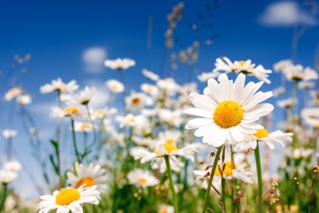 chamomile flower: Summer field with white daisies on blue sky. Ukraine, Europe. Beauty world.