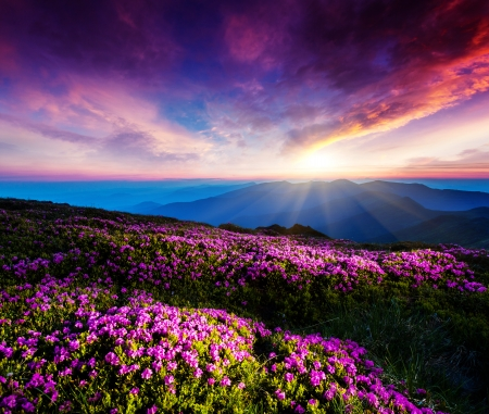 Magic pink rhododendron flowers under the dark blue sky. Majestic Carpathian, Ukraine, Europe. Beauty world. Imagens