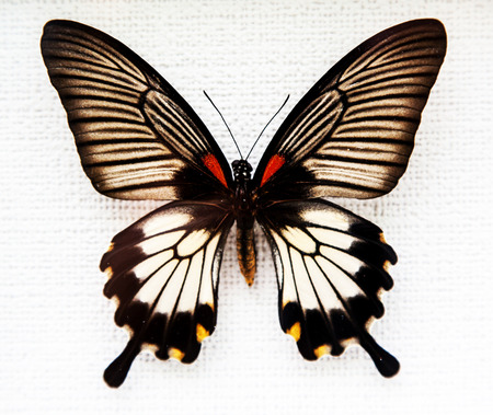 butterfly wings: Exotic butterfly isolated on white background Stock Photo