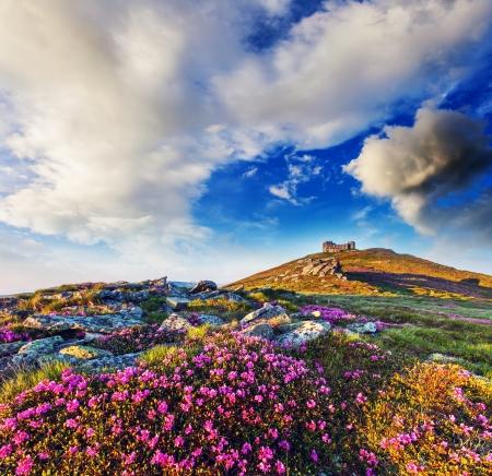 夏の山で魔法のピンクのシャクナゲの花。嵐の前に曇天。カルパチア、ウクライナ、ヨーロッパ。美の世界。