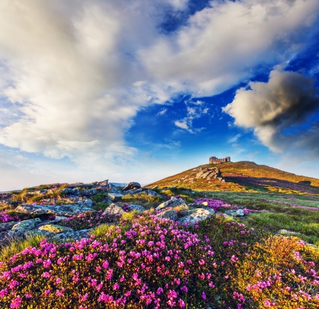Magic pink rhododendron flowers on summer mountain. Overcast sky before storm. Carpathian, Ukraine, Europe. Beauty world. Stock Photo