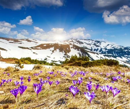 Springtime is the moment for this beautiful flower. Carpathian, Ukraine, Europe. Beauty world. photo